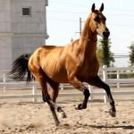 Akhal Teke-paarden